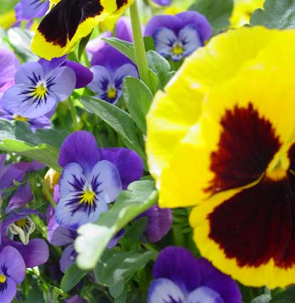 Bulbs and Pansies